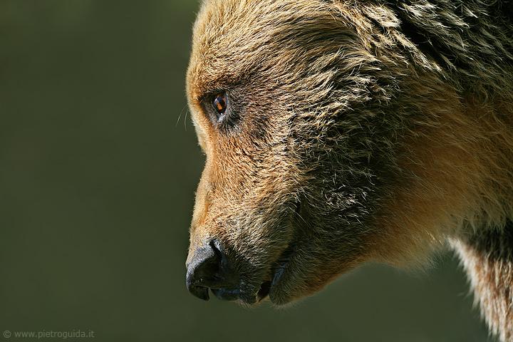 a1 orso marsicano (1)