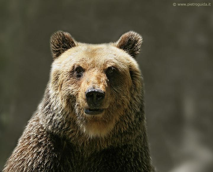 b1 orso marsicano 4