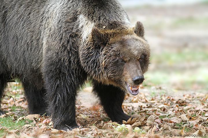 c1 orso marsicano 2