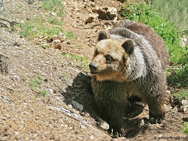 c2 orso marsicano