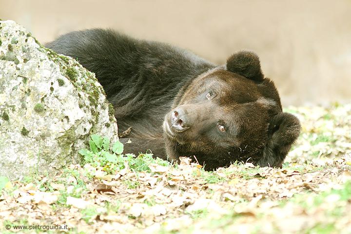 d2 orso marsicano (7)