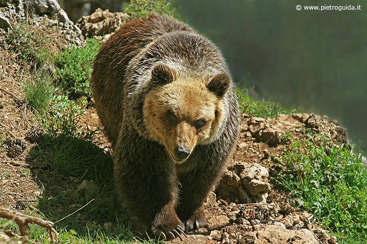 e1 orso marsicano (2)
