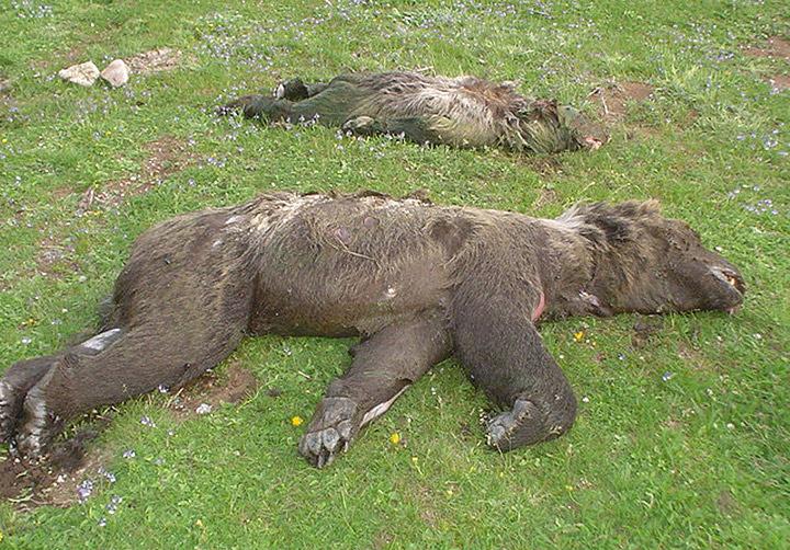 i1 orsi marsicani morti