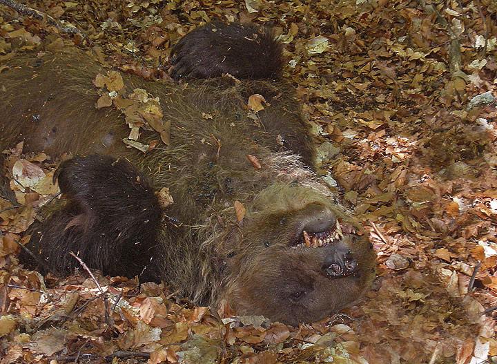 l1 orso morto avvelenato