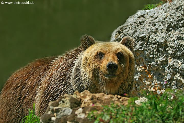 m1 orso marsicano (4)