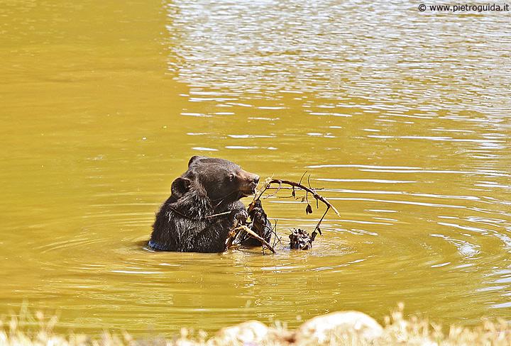 m2 orsoche gioca in acqua