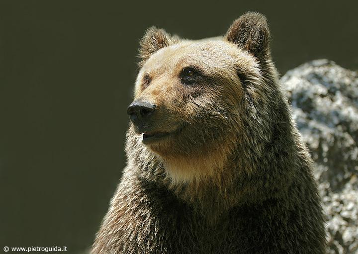 n1 orso marsicano (6)