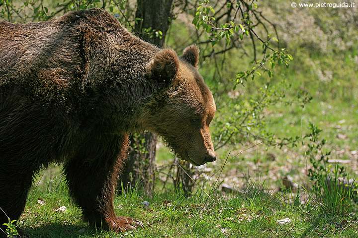 o1 orso marsicano 3