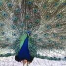 Il pavone: non sempre ciò che si vede corrisponde a quello che è